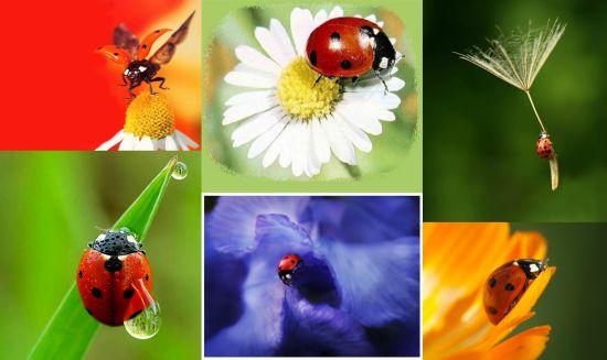Ad:  Uğur Böceği (Coccinellidae)1.jpg Gösterim: 2587 Boyut:  28.7 KB