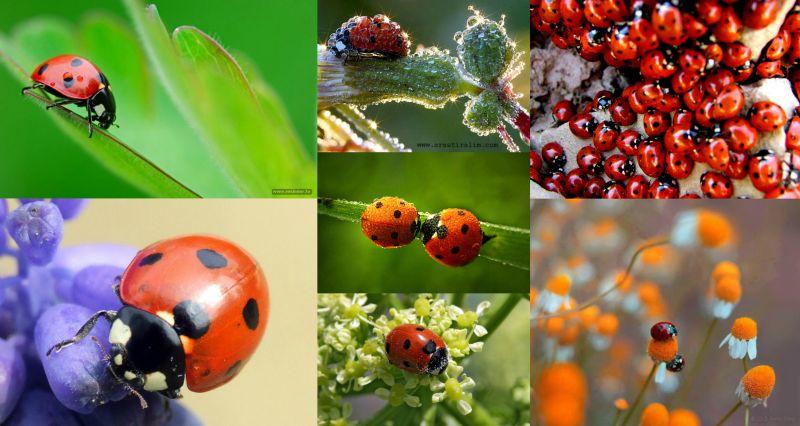 Ad:  Uğur Böceği (Coccinellidae)2.jpg Gösterim: 2694 Boyut:  68.2 KB