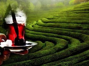 Ad:  çay tarımı.jpg Gösterim: 8305 Boyut:  51.4 KB