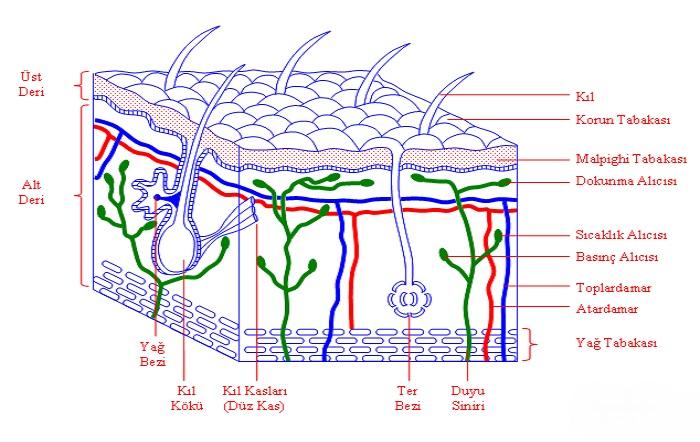 1d97a922cf067 Deri Nedir - Derinin Yapısı ve Görevleri