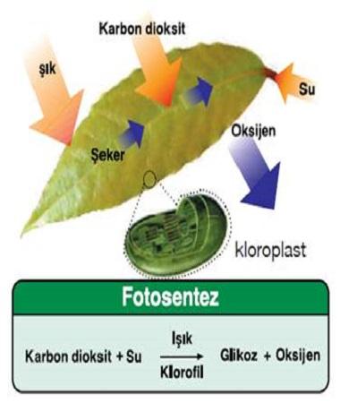 Solunum ve fotosentez nedir 53