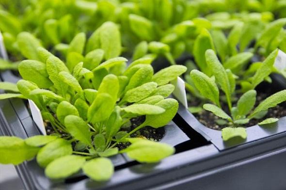 Ad:  arabidopsis_bitkisi.jpg Gösterim: 721 Boyut:  79.0 KB
