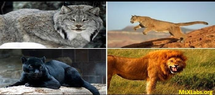 Ad:  büyük kediler.jpg Gösterim: 1006 Boyut:  98.9 KB