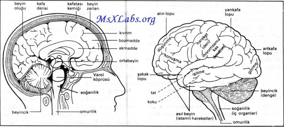 Ad:  Beyin.jpg Gösterim: 140 Boyut:  138.2 KB