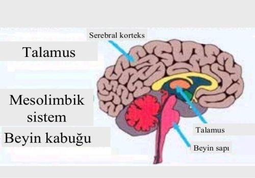 Ad:  Beyin Kabuğu.jpg Gösterim: 136 Boyut:  24.0 KB