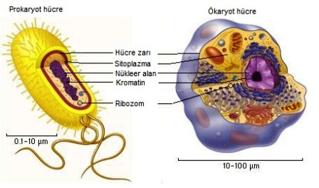 Ad:  hücre-organelleri-ve-görevleri-24.png Gösterim: 1409 Boyut:  210.5 KB