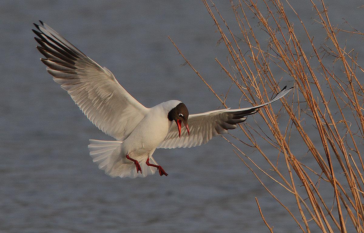 Ad:  Black-headed_Gull_landing_2.jpg Gösterim: 207 Boyut:  150.6 KB