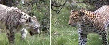 Ad:  leoparlar-ile-kar-leoparlari-ilk-kez-bir-arada-goruldu,NgrR9a1fJk-GnbRRLg2jzg.jpg Gösterim: 197 Boyut:  17.8 KB