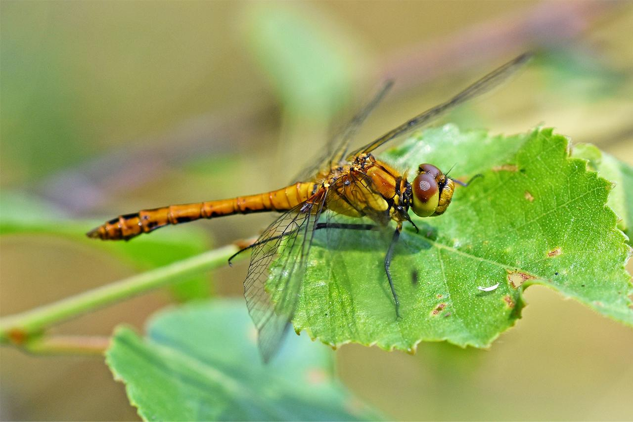 Ad:  0547_dragonfly_by_realmantis_ddpe0fw-fullview.jpg Gösterim: 133 Boyut:  102.1 KB