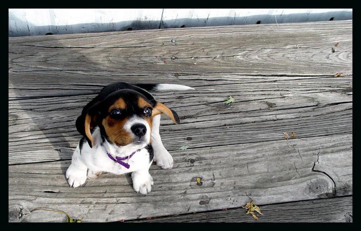 Ad:  skippy__the_beagle_pup__by_hyasynth.jpg Gösterim: 393 Boyut:  76.1 KB